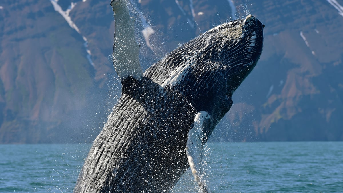 Closeup of a humpback whale